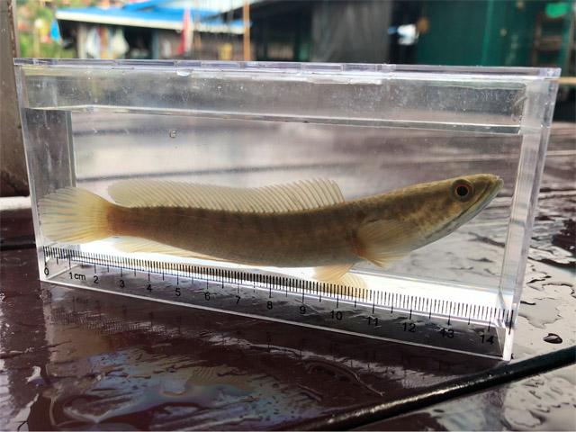 水上家屋の足場である竹の隙間に潜んでいたパチョーン(プラーチョン)という雷魚の一種。英語でストライプドスネークヘッドとも。捕まえた魚は基本的に写真を撮ったら逃す。そもそも食べられるほど大きな魚はあんまり捕れなかったし。