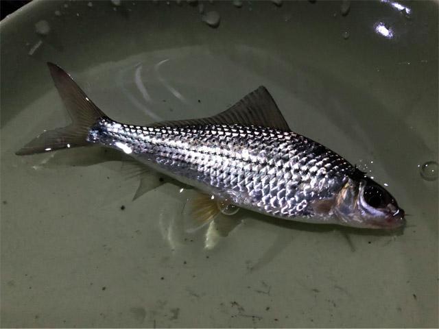 釣りだと手のひらサイズのコイ科の魚が捕れる。この手の魚は素早いので網だとなかなか捕れないのだ。