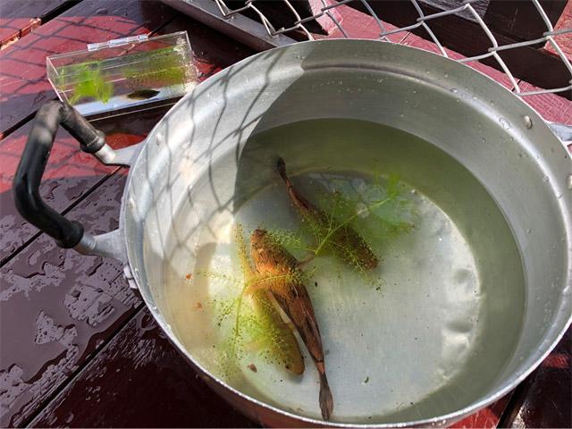 捕った魚は鍋で一時キープして観察。食べるわけではない。