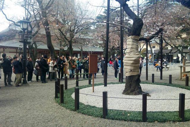 東京で桜の開花宣言が出される時の基準となる桜の標本木。