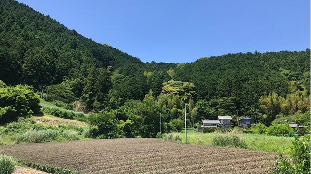 葉っぱは摘み取られているが茶畑が広がっている、静岡らしい風景