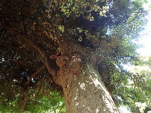 これがスダジイの木。幹がちょっと白いのが特長。