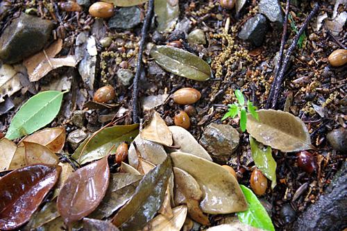 幹や葉だけではどの木がスダジイかわからなくても、下を見ればドングリが落ちているのでわかるはず。