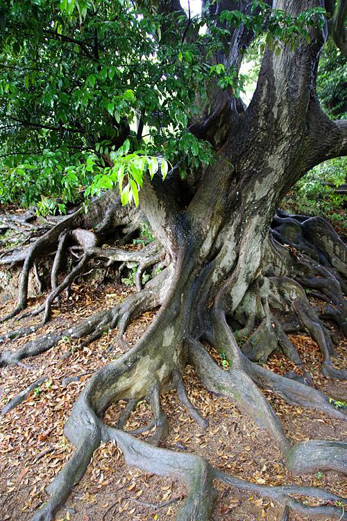 このくらいの巨木になると、2、3個生えている可能性が高い。