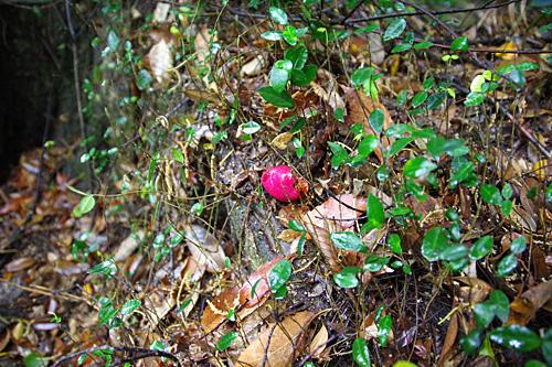 赤やピンクに目が反応してしまって、落ちている椿の花もカンゾウタケに見えてしまう。