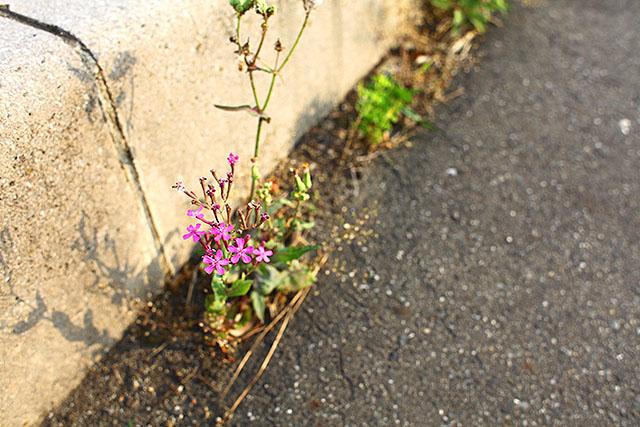 道端に可愛い花が咲いてました。車に乗ってたら見えません。
