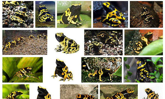 触ると猛毒というイメージの象徴、ヤドクガエル。これはペットとしてわりと飼われているキオビヤドクガエル。かわいい。(Google画像検索より)