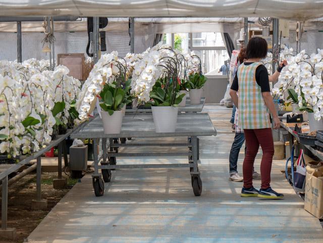 胡蝶蘭の鉢を載せて運ぶ巨大な台車。ハウス間の移動や、トラックの積み込みに使われていました。