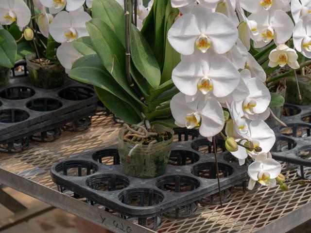 よく見ると、胡蝶蘭の株は土ではなく水苔に植えられている。原産地に近い環境。