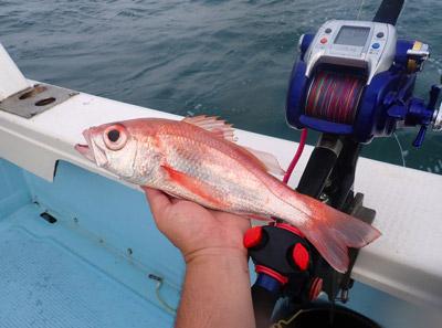 高級魚として知られるアカムツ(ノドグロとも)なんかは主に水深200~300メートルあたりで漁獲されるので、一応深海魚のくくりに入る。キンメダイとかも。でも今回はもっとマイナーな、魚屋さんには絶対並ばないようなガチガチの深海魚を狙いたい。