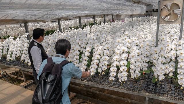 胡蝶蘭の学名は「蛾のような」という意味だけど和名では「蝶」に変化。花が咲くまで5年。鉢植えの状態で2ヶ月もつ。など豆知識満載っす。