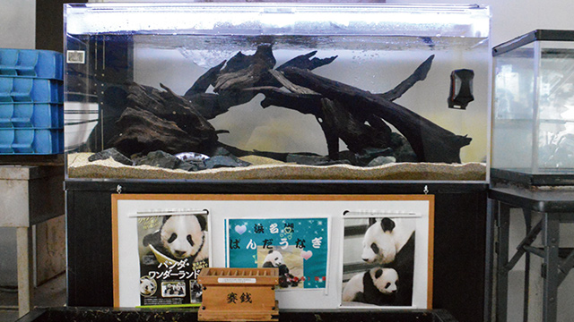 水槽にいるのはパンダうなぎで、下のPOPは完全にパンダである