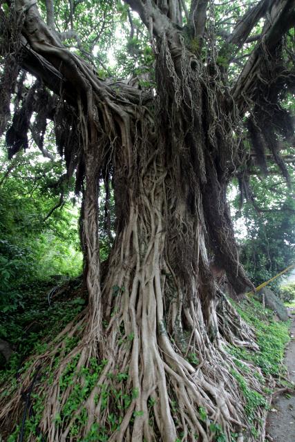 移住時に防風林とした植えられたという根谷集落のアコウ。今では非常に立派……というか禍々しく見えるほどに成長している