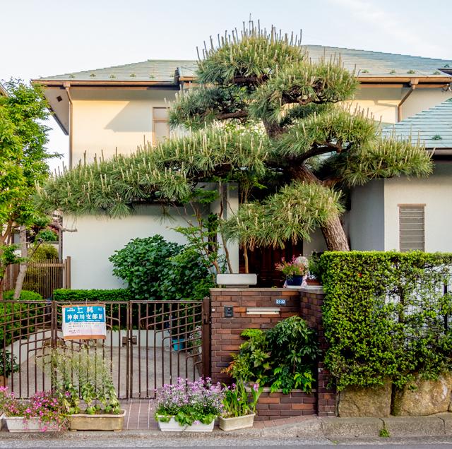 家屋本体に迫る勢いの松。もはや門の域を超えている。伸び放題の新芽も荒々しい。