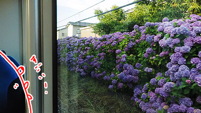 途中の蓮町駅~犬島新町駅の間がずーっと見事な紫陽花が咲いていた