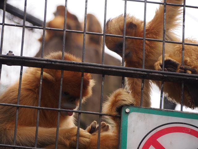 金絲猴(キンシコウ/別名ゴールデンモンキー)です