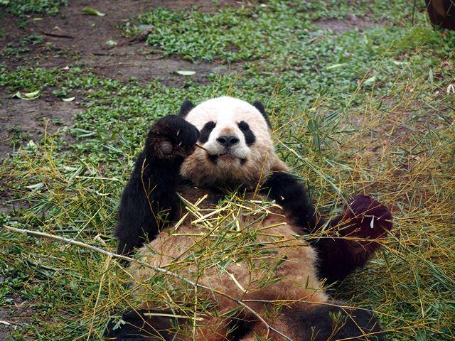 仰向けになって笹をむさぼるパンダ。ちょっと体が汚れて茶色くなってます。
