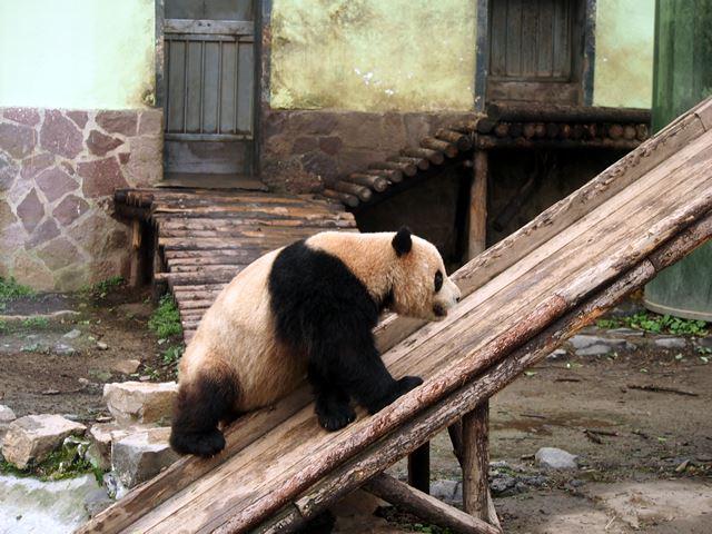 滑り台を上っていくパンダ。