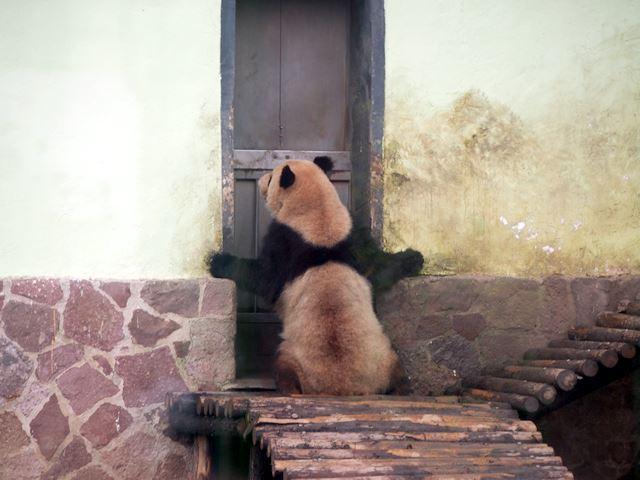 部屋の中に入れてよ~って言ってるように見えるパンダ。