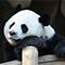 パンダに対して冷静すぎるよ中国人