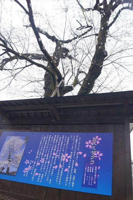 正門前のカスミザクラは樹齢300年、ひときわ発色の良い看板に誇りが見て取れる。