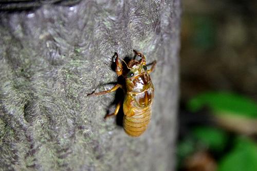 道路沿いの擬木を羽化場所に決めた幼虫。