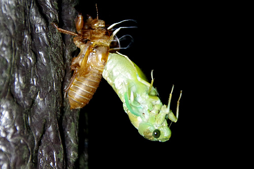 そのままグイッと背筋を伸ばして全身を殻から出した。幼虫の大きさよりも羽化した後の方が断然大きい。エスパー伊藤の鞄に入る芸の逆バージョンみたいだ。