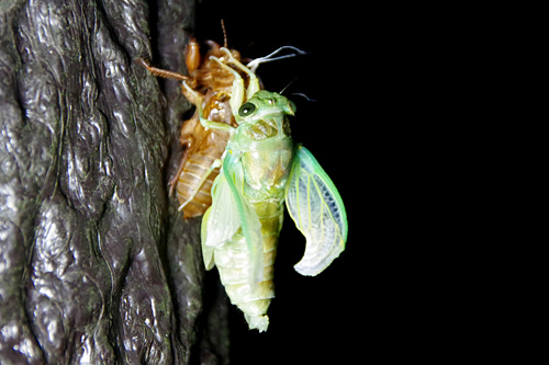 脱ぎ捨てた殻につかまって、ゆっくりと羽根を伸ばす。ひと夏の経験がセミを大人へと変えていく。