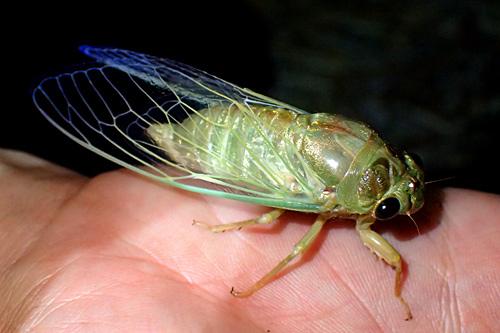 スケスケの羽根の下にはメリハリのあるわがままボディ。夜の蝶ならぬ夜の蝉。