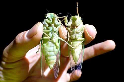 羽化したての成虫のオス(左)とメス(右)。オスには鳴くための腹弁がある。