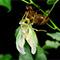 埼玉にいる外来種のセミ、タケオオツクツクは機械のように鳴く