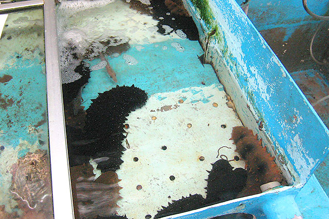 移送されたナマコたち。水を綺麗にしておくれ。