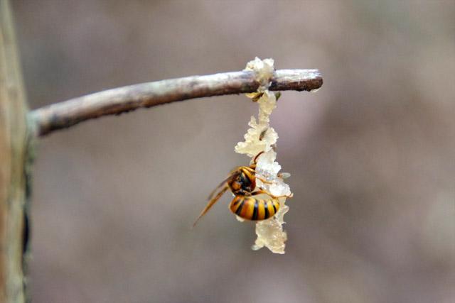 下見のときに仕掛けておいたエサを食べるハチ。怖い。