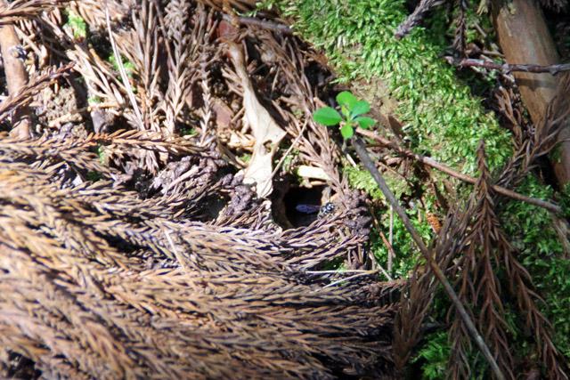 これがへぼの巣の出入り口。普通に探しても絶対にみつけられないだろう。
