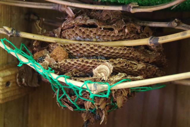 巣の中には幼虫がミチミチと入っている。これが8月以降だと巣が大きくなりすぎて巣箱に入らないし、うまいこと巣が育ってくれないそうだ。