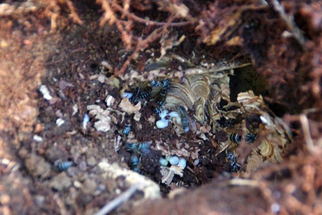 巣から落ちてしまった幼虫であれば、先輩方に迷惑をかけずに試食ができる。
