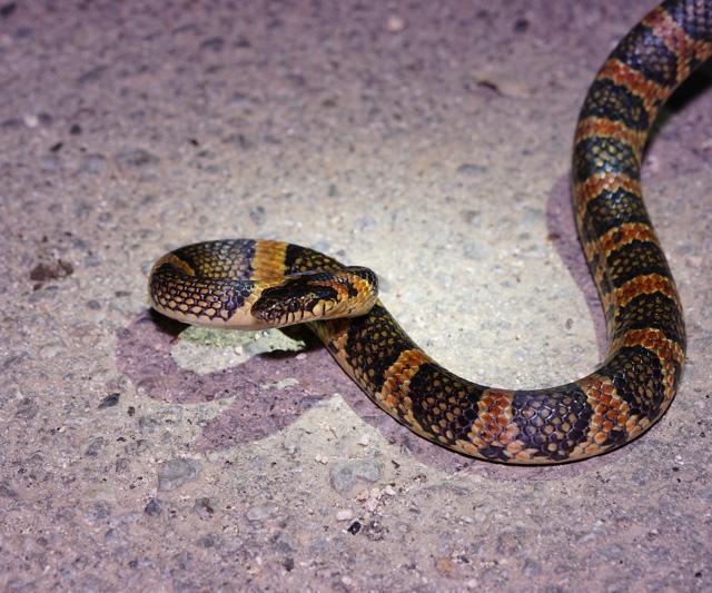 でもよく見るとけっこう綺麗なヘビなんすよ。アカマタ。