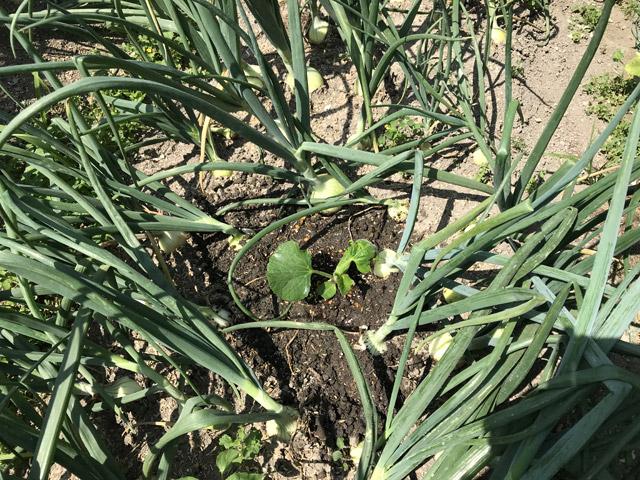 タマネギの隙間に植えられた苗。ユウガオというか新顔の登場である。