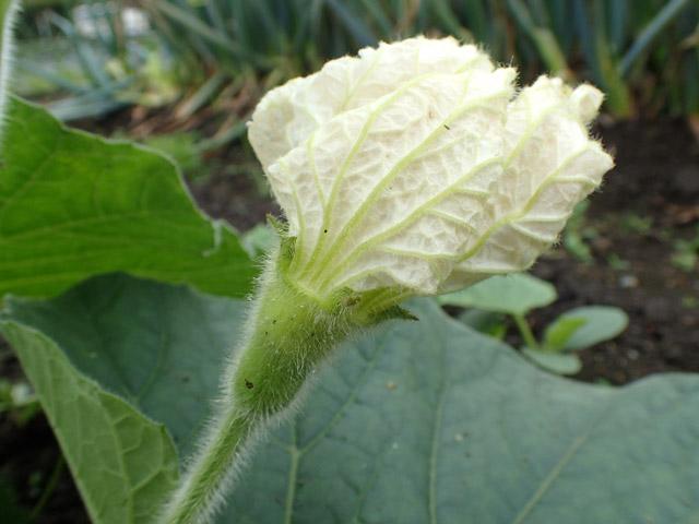 夕方に花が開くからユウガオだそうです。これは開花直前の雌花かな。