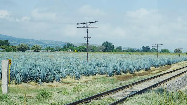 テキーラ村の周りはリュウゼツランラン畑が広がる
