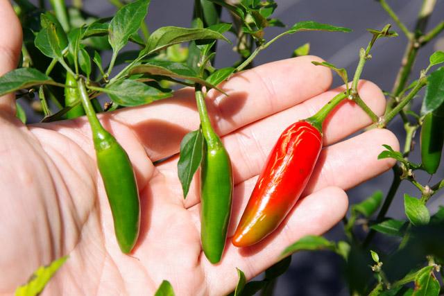 これはピクルスやサルサに使われるセラーノというメキシコの品種で、緑の状態で収穫をすることが多い。