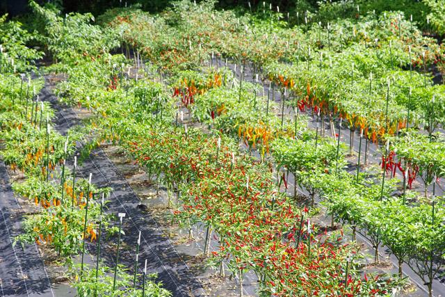 農園には色とりどりの唐辛子が実っていて、お花畑のように鮮やかだった。