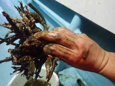 エラコを素手で取り出すとどうしても手がベタベタになる。エラコ自身の体液や管に付着した泥のせいだ。