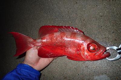 そういえばエラコの塩漬けは釣り餌として使ってみてもすごく効いた。そりゃ高値で取引されるわ。あの独特のニオイが魚を惹きつけるんだろうな。