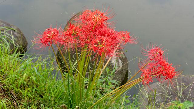 この時藤原さんは、少し遠くに咲いている彼岸花を撮っていた。