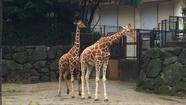キリンと言われてぱっと思いつく姿は多分アミメキリンのはず。これは金沢動物園のアミメキリン