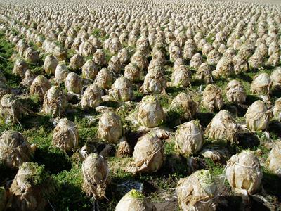 春先の白菜畑はエイリアンの卵っぽい 風雲!コネタ城 春先の白菜畑はエイリアンの卵っぽい - デイ